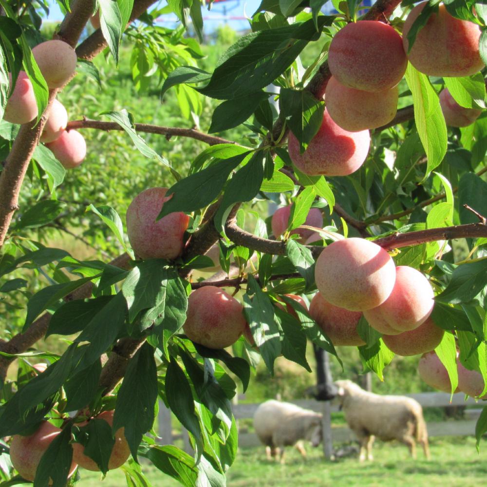 写真:桃の木